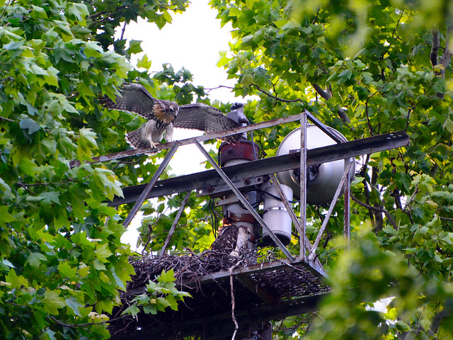 GT Hawk Nest - 0607