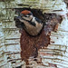Greater spotted woodpecker chick