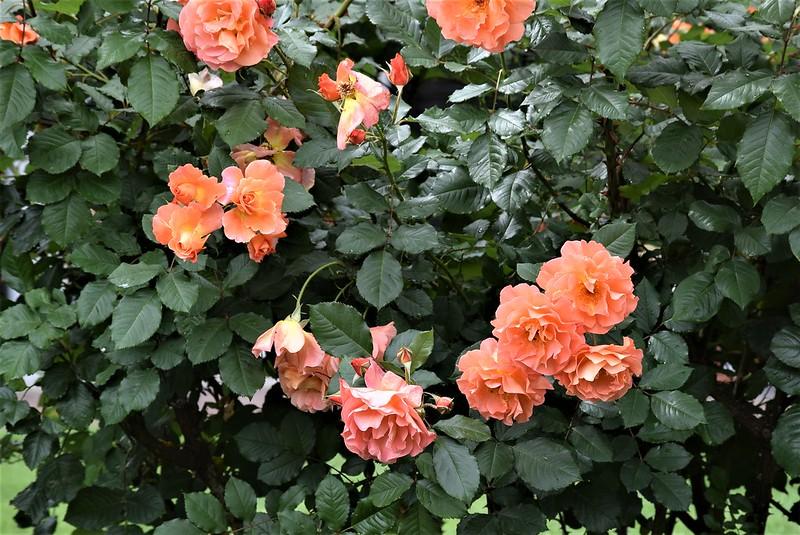Roses 12.06 (3)