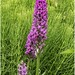 Southern Marsh Orchid.