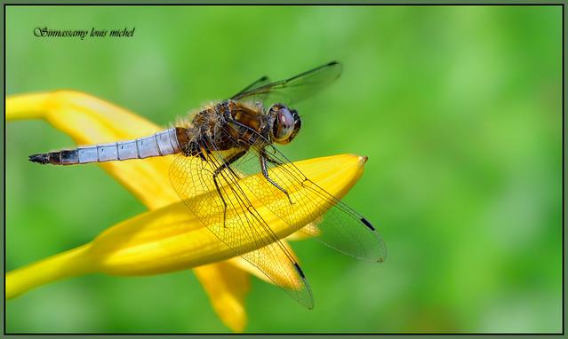Dragonfly / Libellule