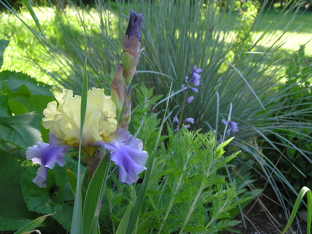 Iris germanica 'Edith Wolford'