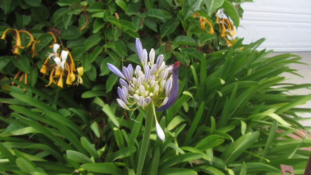 IMG_4240 goleta agapanthus lily of the nile bloom