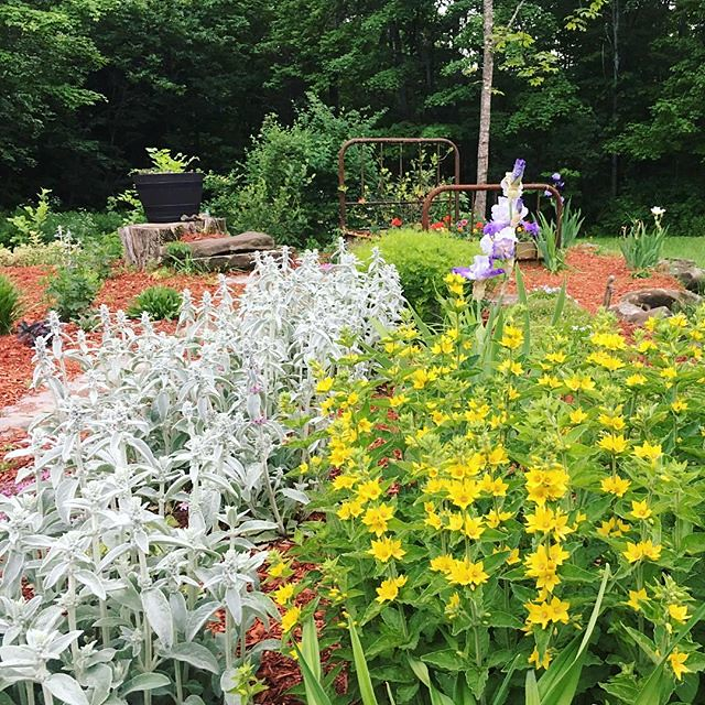 Lambs ear. Yellow loosestrife.!