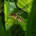 Hoverfly - Sphaerophoria scripta (female)