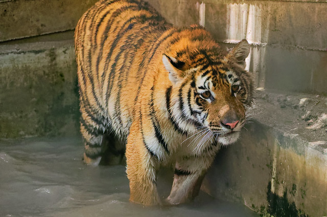 Bengal Tiger Revisited