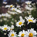 Pushing up the daisies