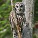 barred owl (strix varia) by punkbirdr