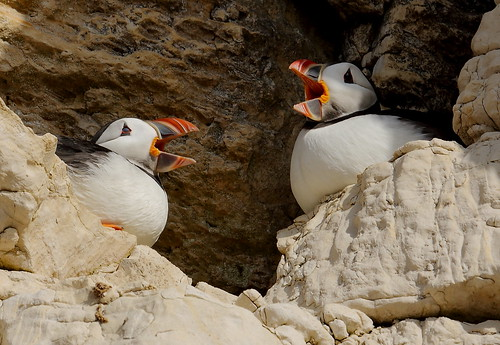 Puffins,a martital cackle....