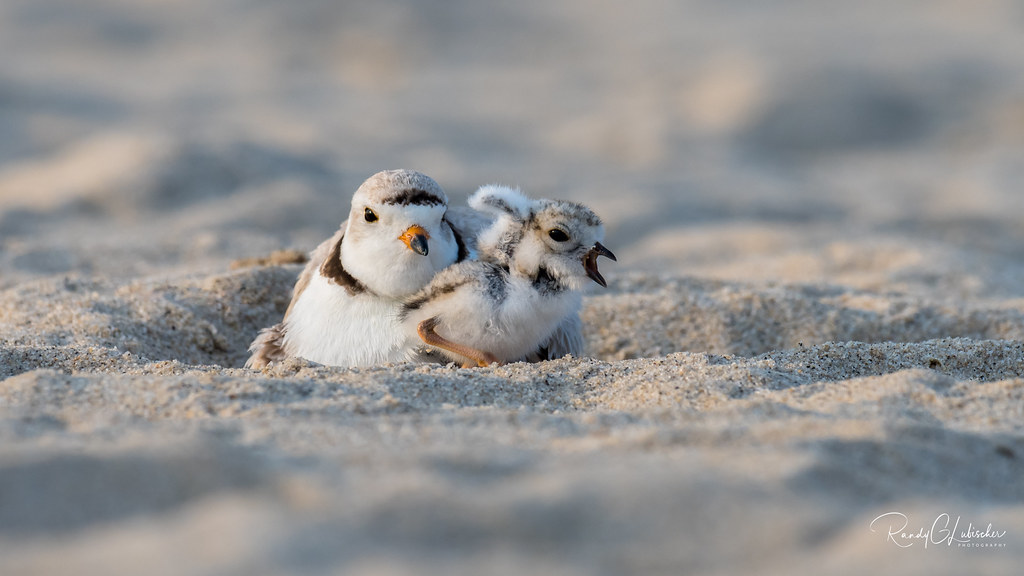 Piping Plover   2018 - 30