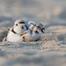 Piping Plover | 2018 - 30