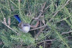 Superb Fairy-wren ( Its to cold to come out to play )