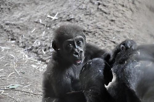 ニシゴリラ zoo animal westernlowlandgorilla gorilla 上野動物園 上野 ニシローランドゴリラ westerngorilla 動物園 ueno 恩賜上野動物園 ゴリラ uenozoo