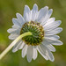 Oxeye Daisy - a different perspective