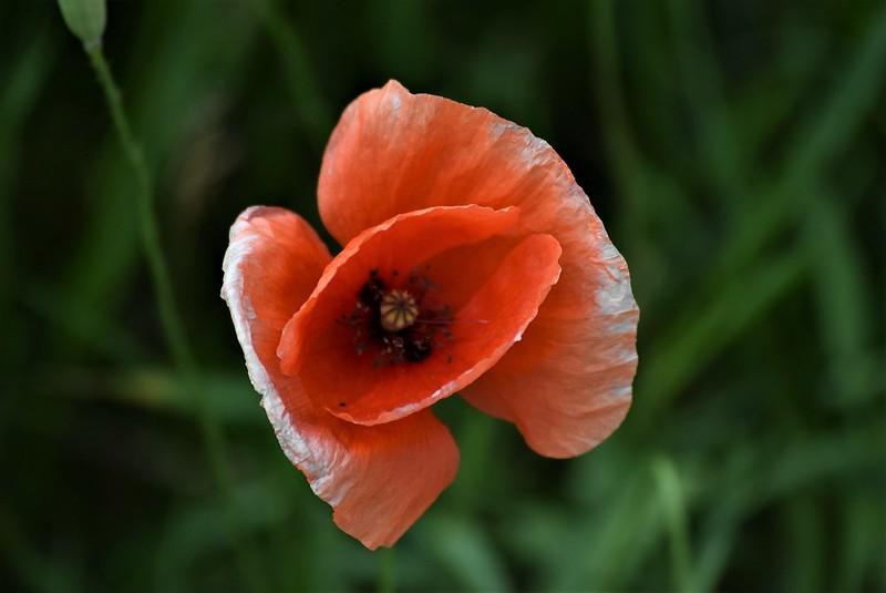 Poppies 16.06 (2)