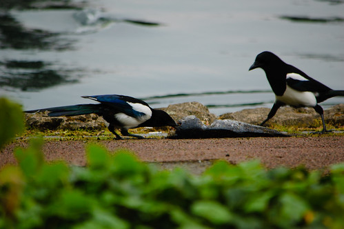 Magpies eating dead carp, West Park