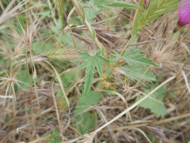 Convolvulus althaeoides - fausse guimauve 41550109735_77d5798736_z