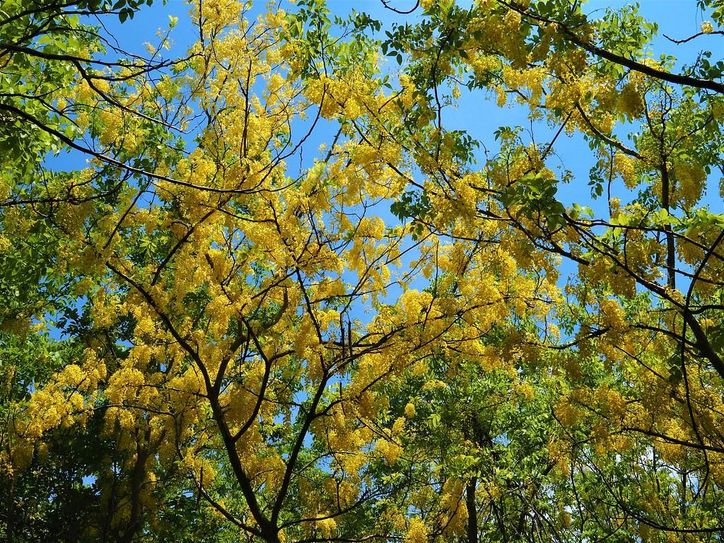 黃金雨 (4)