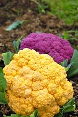 Anciennes variétés de choux fleurs