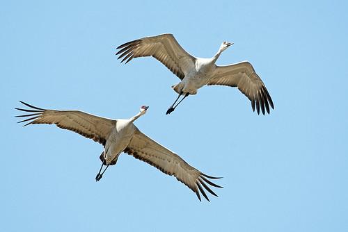 UP, MI: Sandhill Cranes 1