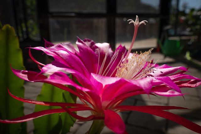 Epiphyllum 6721