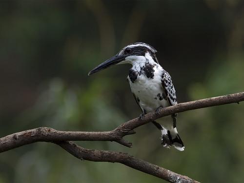 Pied Kingfisher (f) _ Dongguan ☺☺☺