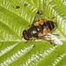 Hoverfly - Eristalis horticola