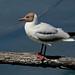 Black-headed Gull --- Chroicocephalus ridibundus
