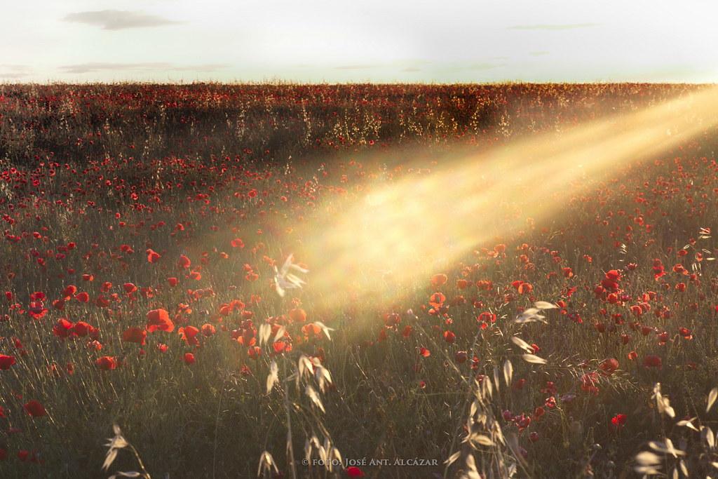 Un rayo de Sol bañando un campo de amapolas