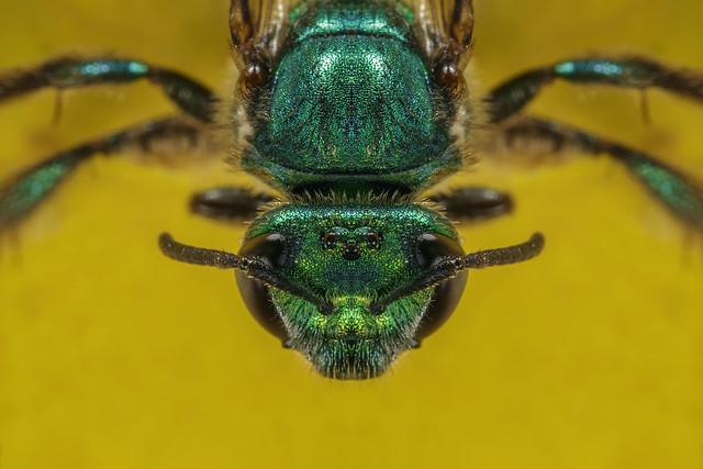 Augochlora sp. 2018.05.25