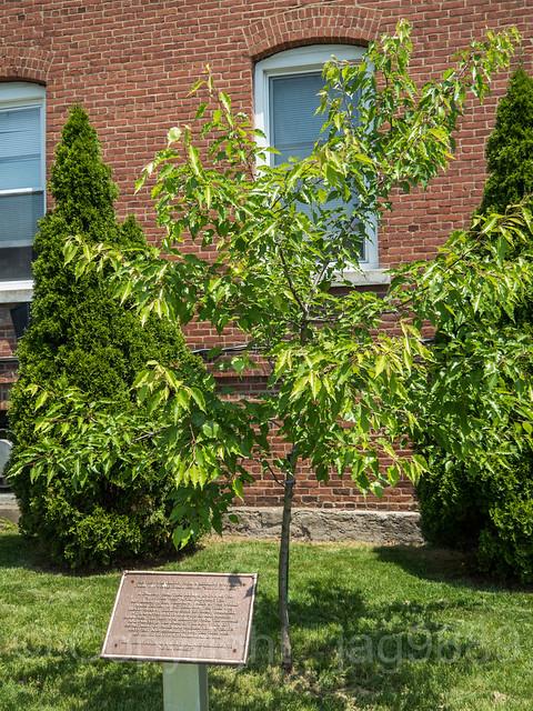 9/11 WTC Survivor Tree, EMS Academy, Fort Totten, New York City