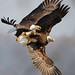 Bald Eagle Battle by Brian E Kushner