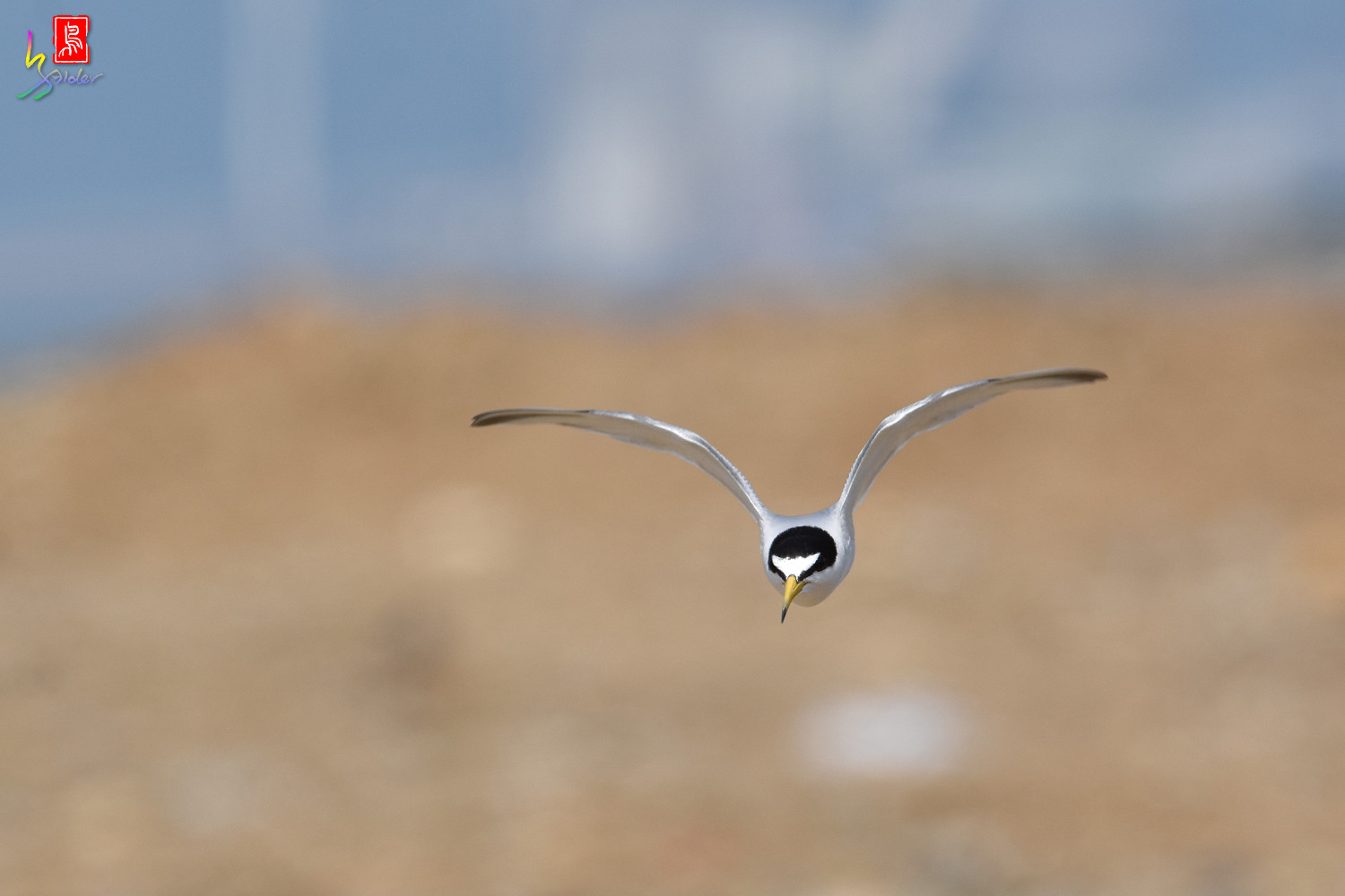 Little_Tern_0063