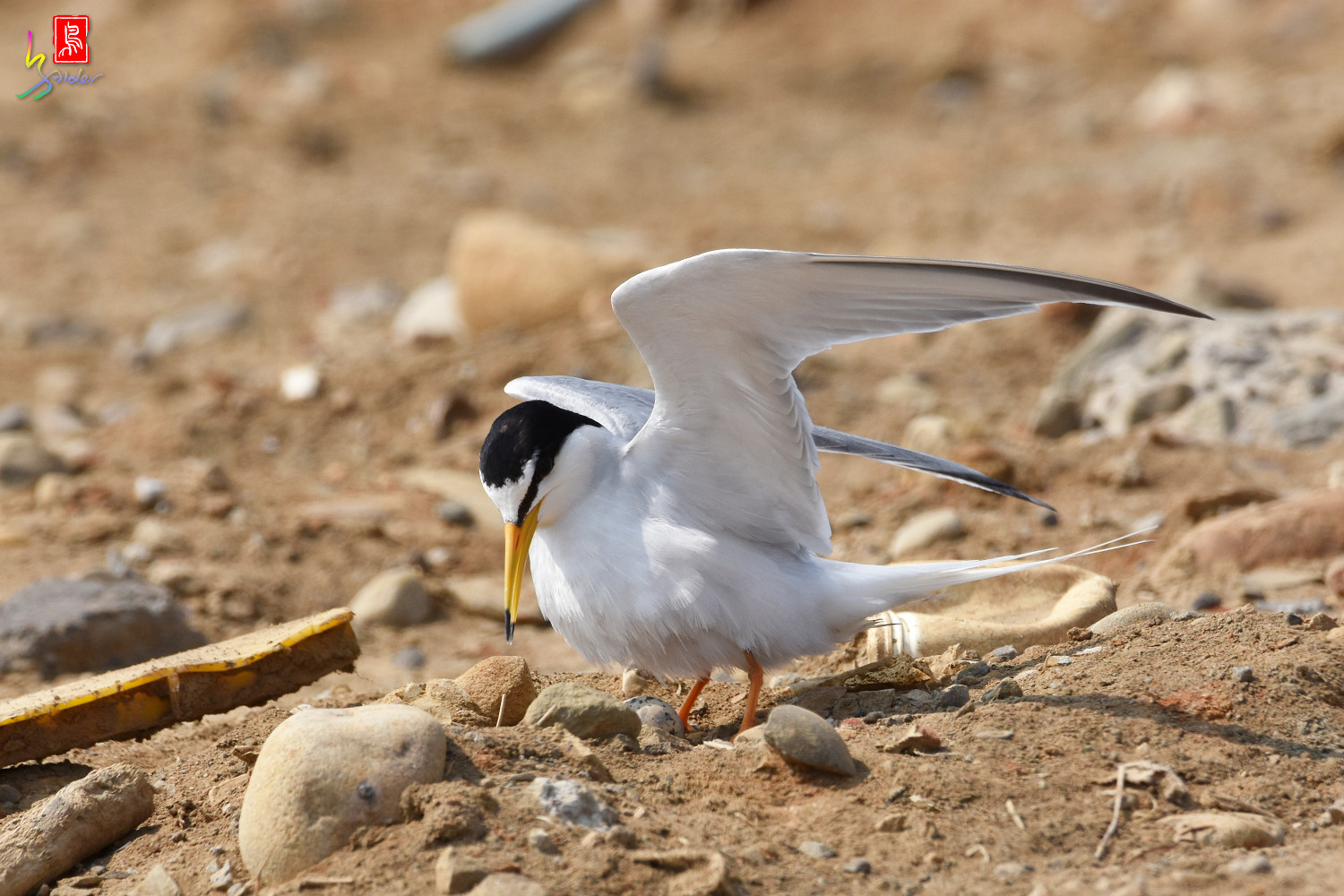 Little_Tern_0170