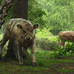Cattle Grazing - Royden Park