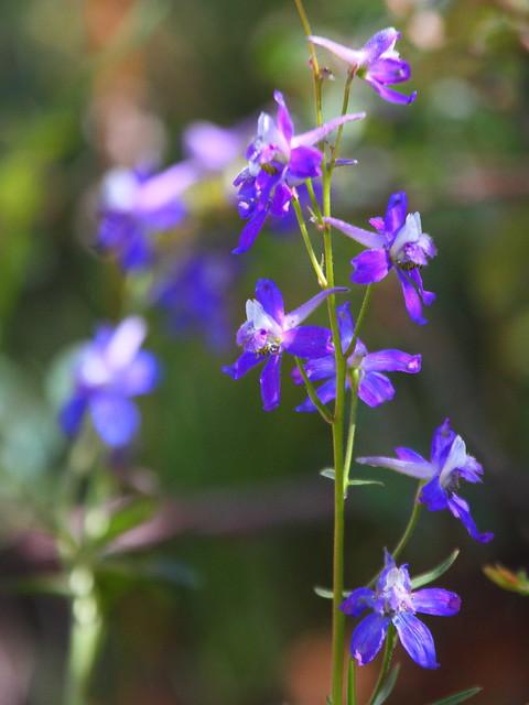 IMG_5786 Larkspur, Zion National Park
