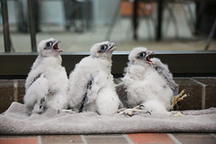 Falcon Banding-15