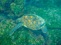 Galápagos green turtle (Floreana Island)