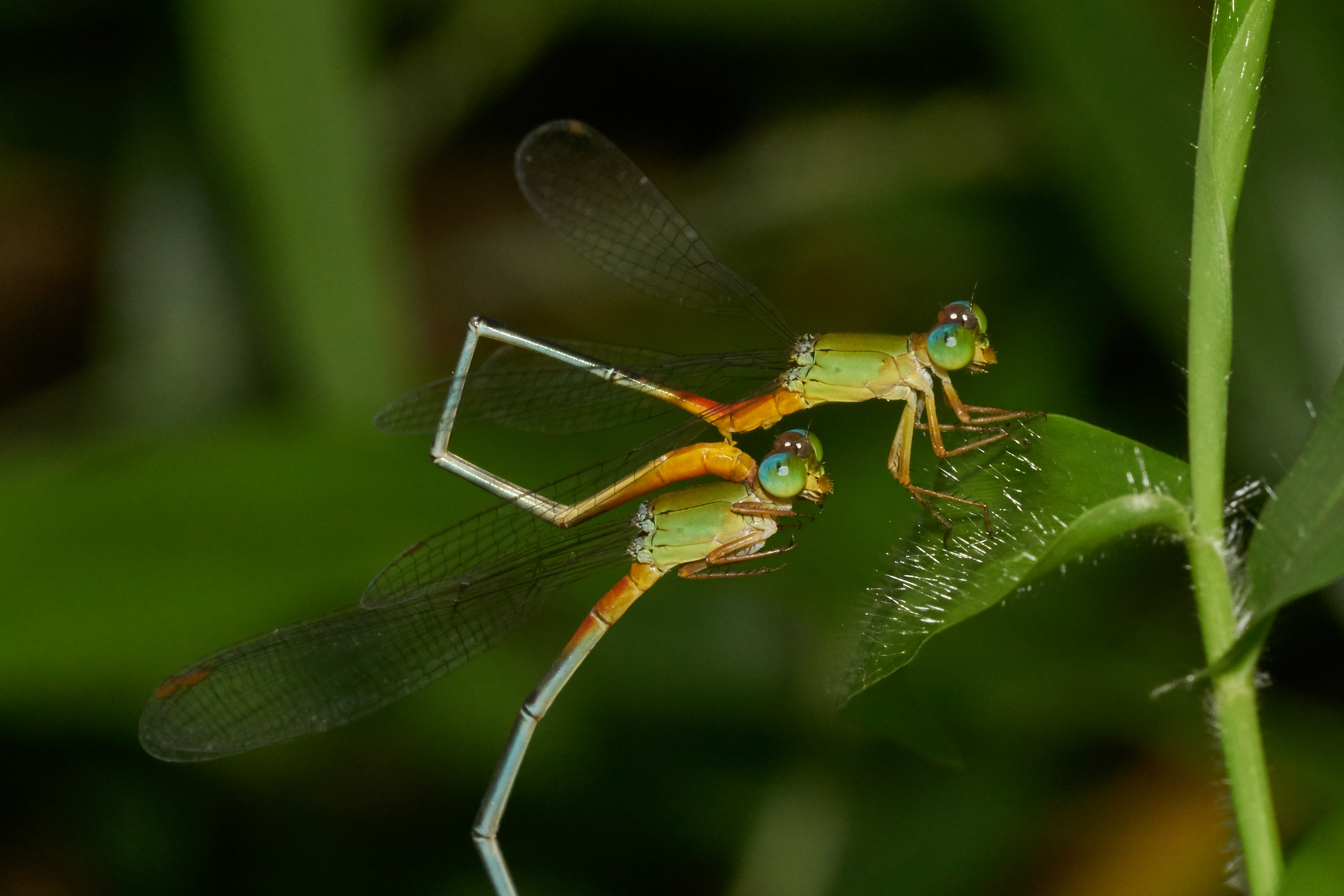 First stage: Ceriagrion cerinorubellum pair with male transferring sperm from the primary to the secondary sex organs.