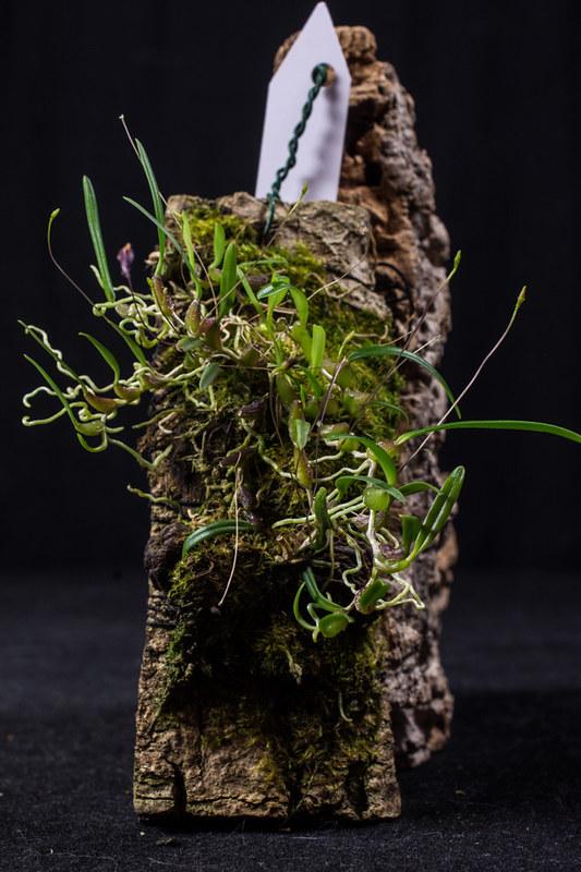 Orchideen-Neuzugang 2 - Seite 3 27683591197_b50d1b1d4b_c