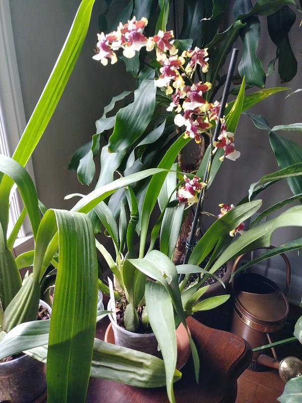 Orchidées chez lavandula - Page 12 27714173527_4294823880_c