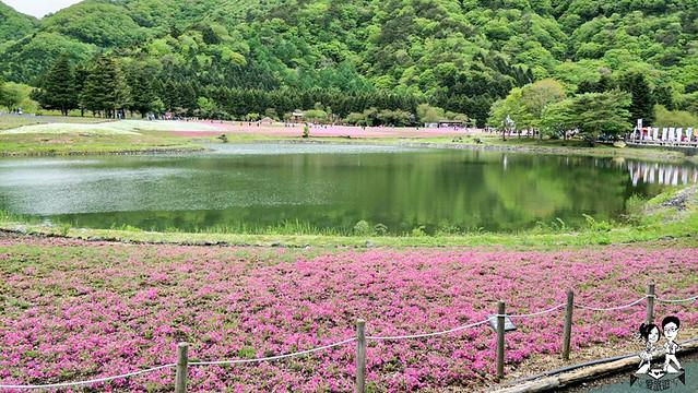 富士芝櫻季
