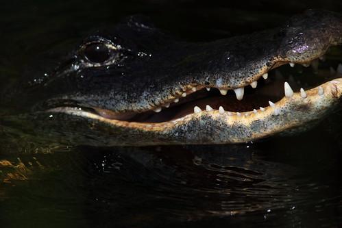 Alligator 2-20180603