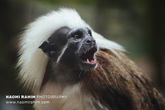Cotton Top Tamarin - Jurong Bird Sanctuary, Singapore
