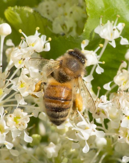 Western Honey Bee, Coldwater, Olympus E-M5, Lumix G Vario 100-300mm F4.0-5.6 Mega OIS