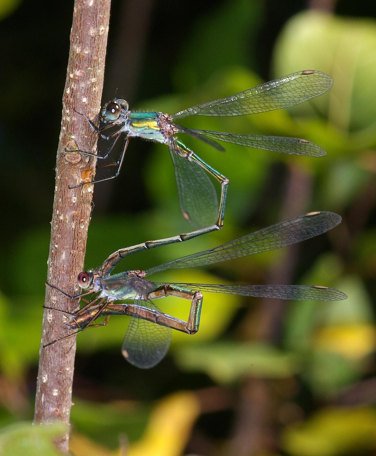 Pair of willow emeralds, Chalcolestes viridis, in tandem, laying eggs into a twig.