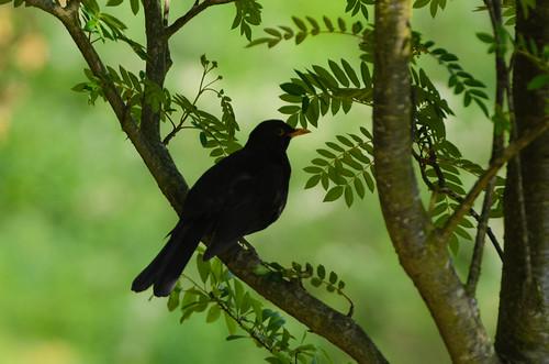 Male blackbird on a branch