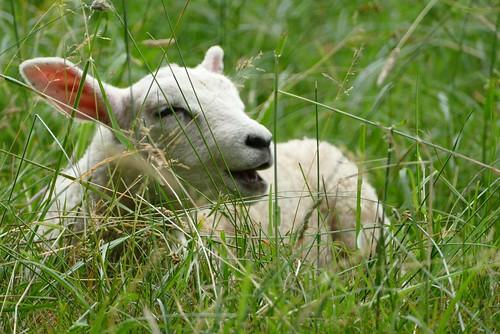 a pretty little lamb