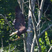 Bald Eagle Mom has been flying about with a fish trying to entice the fledging to come to her.
