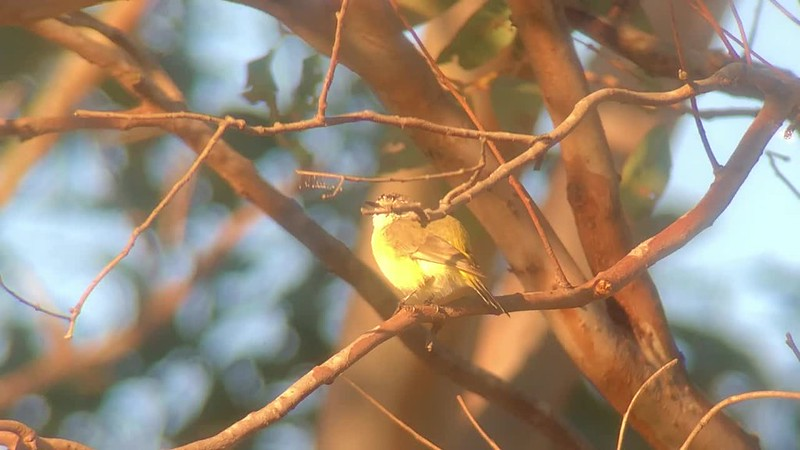 Yellow-rumped Thornbill S46507921